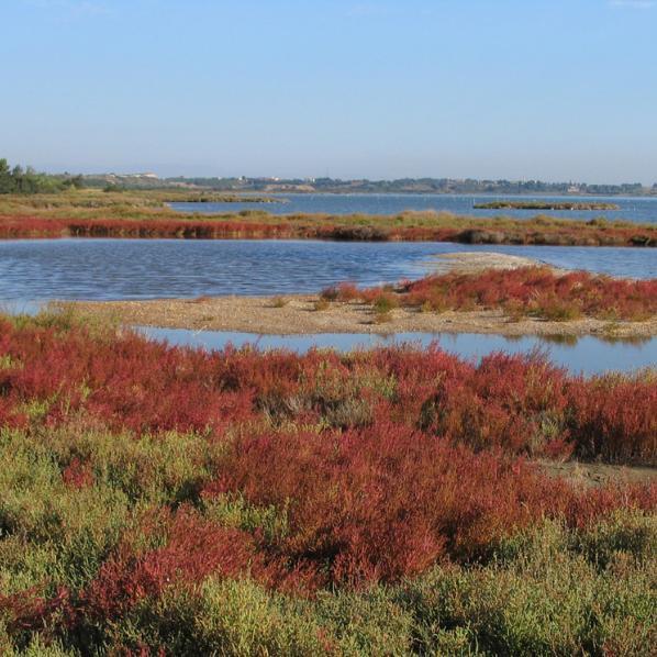 Salicornes sur l'étang de Bages dans l'Aude.